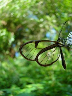 Greta+oto+-+borboleta+transparente.JPG (1200×1600)