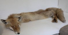 real red fox fur pelt leather wallhanger taxidermy