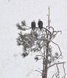 Eagles perched together near the Yakima River.