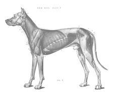 Dog anatomy - Muscles