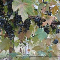 Gods & Goddesses of Wine & Vines: Vineyards are flourishing when Mabon rolls around.