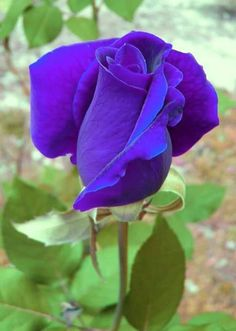 How to Plant Potted Flowers Outdoors in the Soil : Garden Space – Top Soop Beautiful Flowers Wallpapers, Beautiful Roses, Beautiful Gardens, Flowers Nature, Exotic Flowers, Pretty Flowers, Lavender Roses, Purple Flowers, Pink Roses