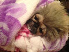 Peke in a blanket
