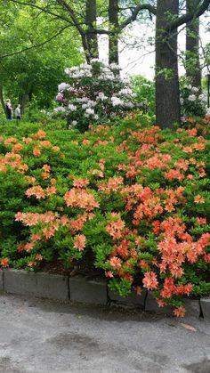 Atsaleat ja alppiruusut kukkivat Korkeasaaressa Sidewalk, Gardening, Plants, Side Walkway, Lawn And Garden, Walkway, Plant, Walkways, Planets
