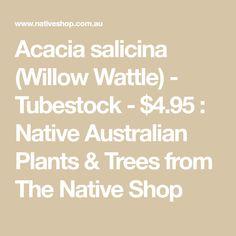 Acacia salicina (Willow Wattle) - Tubestock - $4.95 : Native Australian Plants & Trees from The Native Shop Native Australians, Australian Plants, Acacia, Trees To Plant, Nativity, Gardens, Shopping, Tree Planting, The Nativity