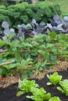 Strawberries, lettuces, red cabbage, kale 'Dwarf Green Curled' in vegetable & fruit garden with straw mulch, irrigation hose for watering | Graham Rice, GardenPhotos