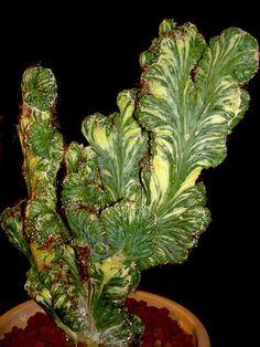 Cereus peruvianus monstruosus variagata cristata