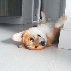 Corgi here - being cute - needs treat!