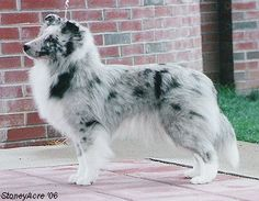 "A Bi Blue Merle Sheltie. I love how gray and ""Wise"" they look."