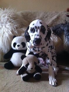 Dalmatian Lika. Just a big panda