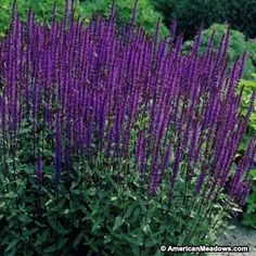 This striking Caradona Sage appears bi-color with deep, purple-black stems that highlight its vivid, blue blooms. Caradonna will attract beautiful hummingbirds and butterflies to the garden and is perfect planted in a border or container garden. (Salvia nemorosa)