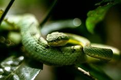 I encountered this mildly venomous Bamboo Pit Viper in Matheran which is a hill station in Mumbai India. This region is home to many tree snakes like the Vine Snake Cat Snake and this Bamboo Pit Viper. It is hard to see this creature in its natural habitat because it is easily camouflaged in the dense green forest and is mostly active only at night. Image captured by Chhaditya Parikh @reptography on Instagram. Shot on the EOS 700D at ISO 100 f/1.8 1/125. #canonasia via Canon on Instagram…