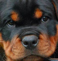 rottweiler pup..omg this face is just begging for kisses!!!