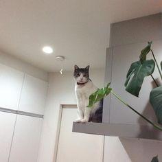 おっと‼︎ ここに避難します。  掃除機キライのにゃんこです🙀  早く終わってよ〜🐈 #愛猫  #にゃんこlove  #猫好き  #避難  #掃除機嫌い  #ペット  #ネコ好き  #pet🐱  #見下ろす  #上から  #lovecat  #ilovecat  #lookdown  #evacuation