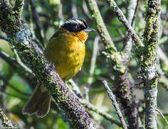 Black-capped Hemispingus (Hemispingus atropileus atropileus) Cerro Toledo, Loja province, Ecuador. Hemispinguses are warbler-like tanagers of high Andean forests.