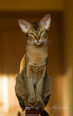 Cats in general are smart, but the Abyssinian Cat takes first place. Curious and playful, an Abyssinian will be very vocal at home around people they are familiar with, however they will shy away from strangers. Pretty Cats, Beautiful Cats, Animals Beautiful, Animals And Pets, Funny Animals, Cute Animals, Funny Horses, Wild Animals, Animal Gato