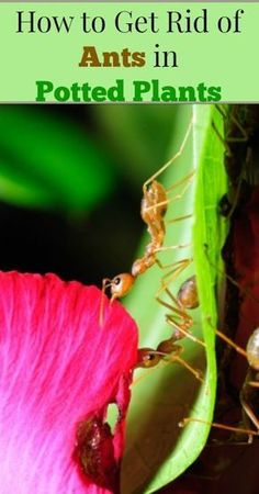 How to Get Rid of Ants in Potted Plants {Gardening Tips, Organic Gardening, Natural Pest Control, Container Gardening, Natural Living}