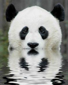 Panda is watching you