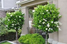 Ligustrum texanum Waxleaf Privet P/S - F/S Spring Bloom Fast grower to 8 to 10 ft. tall, 4 to 6 ft. wide in natural form. Front Yard Plants, Patio Plants, Landscaping Plants, Indoor Bonsai Tree, Street Trees, Raised Planter, Evergreen Shrubs, Small Trees, Topiary