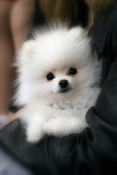 Fluffy white Pomeranian such a cute Pomeranian puppy. White Pomeranian, Teacup Pomeranian, Pomeranian Puppy, Pomsky, Yorkie Dogs, Miniature Pomeranian, Husky Pet, Samoyed, Animals And Pets