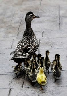 I wonder why one duckling is yellow? Recessive Gene combination? Adopted by this Mama duck?
