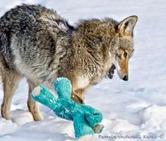 Wild Coyote Finds A Toy And Proves That Wild Animals Are As Playful As Pets http://www.boredpanda.com/wild-coyote-playing-dog-toy-pamela-underhill-karaz/