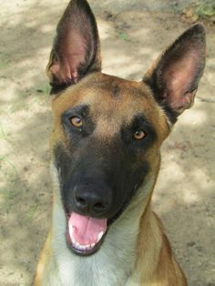 Apollo of Twin Oaks Regina's Belgian Malinois