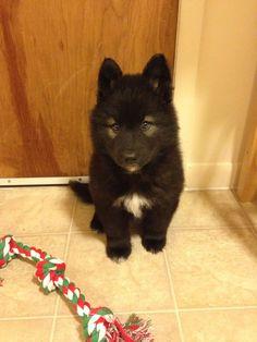 "Siberian Husky & German Shepherd mixed Puppy ""Nala"""