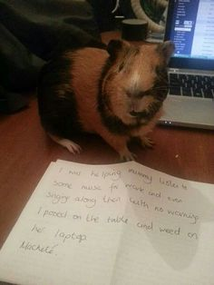 Guinea pig shame... :-)