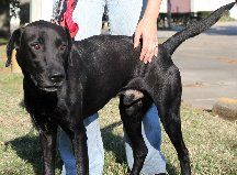 It was a call from a policeman who was begging ARNO to take a dog that he had helped seize and now was in a high kill shelter. In such a short time he had formed a bond with Crispo. A big beautiful lab who need s a strong lead but much love would...