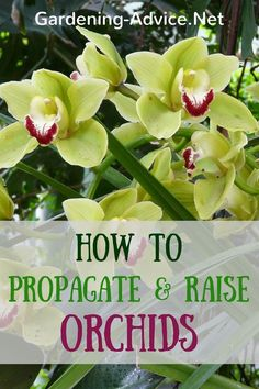 Propagation And Raising Orchids Simple Orchid Propagation tips by dividing your plants! Learn some easy methods for propagating orchids.Simple Orchid Propagation tips by dividing your plants! Learn some easy methods for propagating orchids. Orchid Propagation, Propagating Plants, Plants, Planting Flowers, House Plants, Orchids, Healthy Garden, Plant Care, Container Gardening