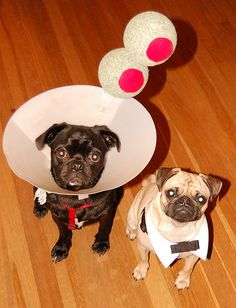 martini pugs, I wish I had done this after my pug's surgery!