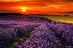 """A sunrise or sunset can be ablaze with brilliance and arouse all the passion, all the yearning, in the soul of the beholder."" ― Mary Balogh, Beautiful sunset over lavender field Beautiful Sunset, Beautiful Flowers, Beautiful Places, Beautiful Pictures, Beautiful Nature Photos, Peaceful Places, Lavender Fields, Lavander, Lavender Flowers"