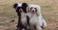 Cuidados de pele com um cão de crista chinês sem pelos