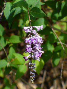 Woodlander's Blue Dusty Zenobia, Honeycup - Shrubs & Trees - All Butterfly Plants, Butterfly Bush, Hummingbird Plants, Parts Of A Flower, Unusual Plants, Landscaping Plants, Hedges, Shrubs, White Flowers