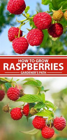 Are you intimidated by the idea of growing fruit? Don't be – raspberries are easy-to-grow perennials that will thrive throughout most of the US. With a bit of pruning, they're adaptable and come back year after year, providing you with delicious homegrown berries for years to come. Read more now on Gardener's Path.