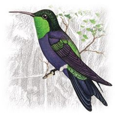 Beija-Flor-Tesoura-Verde (Thalurania furcata)