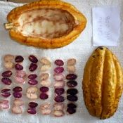 The cocoa beans inside the pod