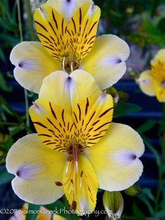 Alstroemeria violacea Yellow Friendship at Digging Dog Nursery |