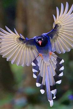 Exotic pets 14847873757784096 - 🦜The red-billed blue magpie occurs in a broad swathe from the northern parts of the Indian subcontinent, and further eastwards. Cute Birds, Pretty Birds, Exotic Birds, Colorful Birds, Exotic Pets, Beautiful Creatures, Animals Beautiful, Most Beautiful Birds, Beautiful Pictures