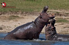 Birding and Wildlife Safari Company Offering First-Class Birding and Wildlife Trips to a Range of Countries in Southern and Eastern Africa. Wildlife Safari, Kruger National Park, Top Destinations, Hippopotamus, Predator, Small Groups, Battle, Africa, Animals