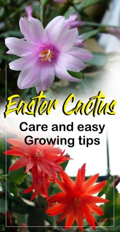 how to care for Easter cactus, growing Easter cactus in a container. The holiday cactus such as Christmas and Easter are Brazilian forest hybrids cactus. Christmas Cactus Plant, Easter Cactus, Cactus Flower, Flower Bookey, Flower Film, Cactus Cactus, Flower Pots, Planting Succulents, Planting Flowers