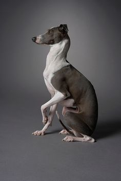 ~ Italian Greyhound ~ Mini Sadie? I want it!
