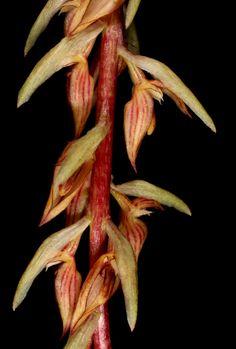 Bulbophyllum longibracteatum