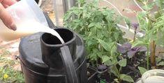 Tuto radu mi dal před lety tchán a těžíme z ní dodnes: Každý zahrádkář potřebuje pro bohatou úrodu jen tuto 1 věc! – Domaci Tipy Jena, Canning, Plants, Flora, Plant, Home Canning, Planting