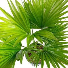 Livistona rotundifolia - Footstool Palm - Purify Your Air - Hortology Cat Safe Plants, Indoor Palms, Sago Palm, Tall Planters, Indoor Plant Pots, Free To Use Images, Air Purifier, Plant Decor, Houseplants