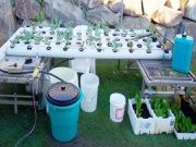 Beginners Hydroponics setup includes Hoses, pipes, Air & water pumps, tanks, drums etc plants shown Kale, Cauliflower, Leeks, Broccoli, Silverbeet.