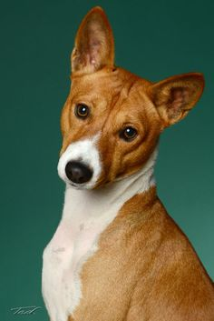 Cute Dog Pictures, Dog Photos, Funny Dogs, Cute Dogs, Basenji Puppy, Animals And Pets, Cute Animals, Photo Animaliere, Animal Faces