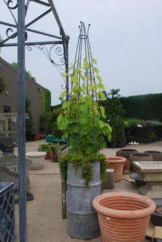 grape vine and angelina