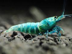 Blue Bolt shrimp (Taiwanese)